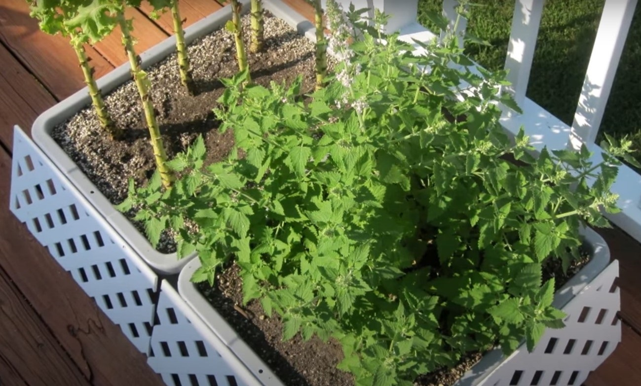 Catnip cultivars are the types of mint plants