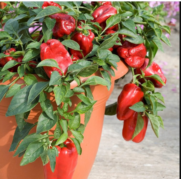 Productivity to Grow Peppers in Container