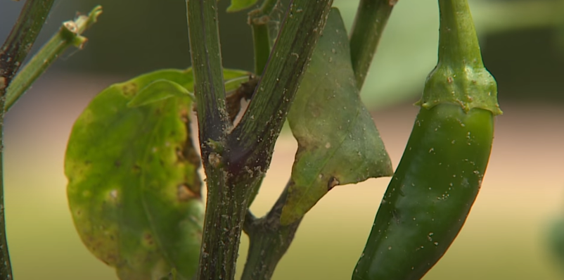 Disease and Pest Prevention in peppers