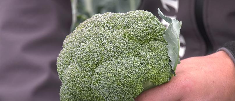 Amadeus broccoli