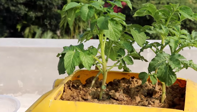 Choosing Fertilizer for Potatoes