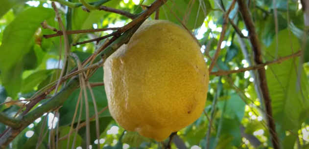 Citrus Lemon
