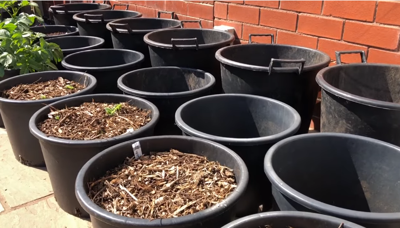 Grow Potatoes in Container
