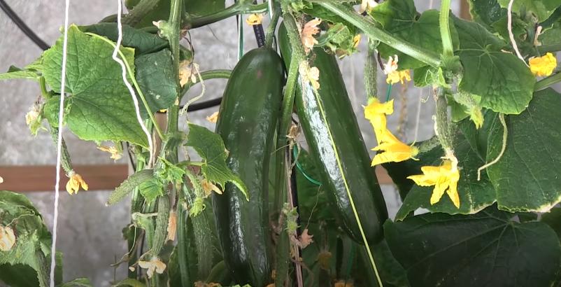 Hydroponic cucumber Maturity