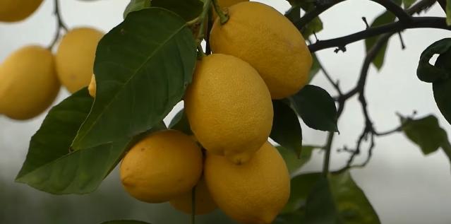 Lemon Dorshapo Eureka
