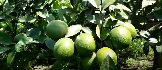 Lemon Primofiori Spanyol
