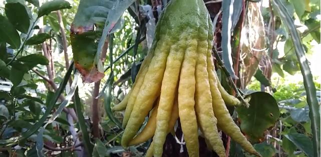 Lemon Tangan Buddha