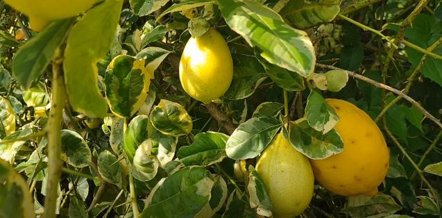 Lemon genoa varietas Eureka