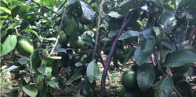 Lemon organik