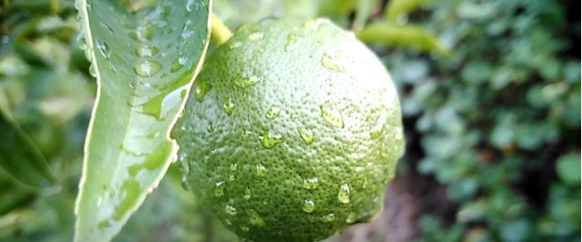 Limetta Lemon