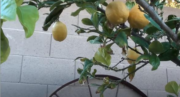Lisbon Lemon