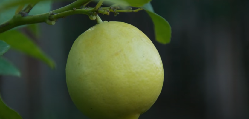 Citrus Meyer Lemon