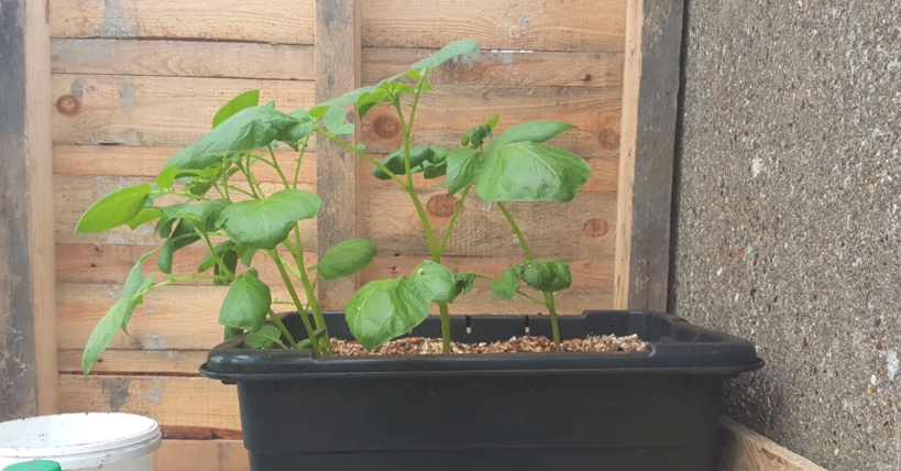 Potatoes Varieties to Plant in Containers