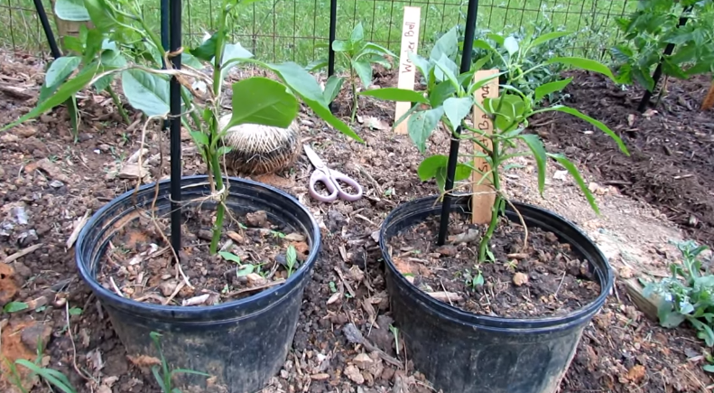 Temperature to Grow Peppers in Container