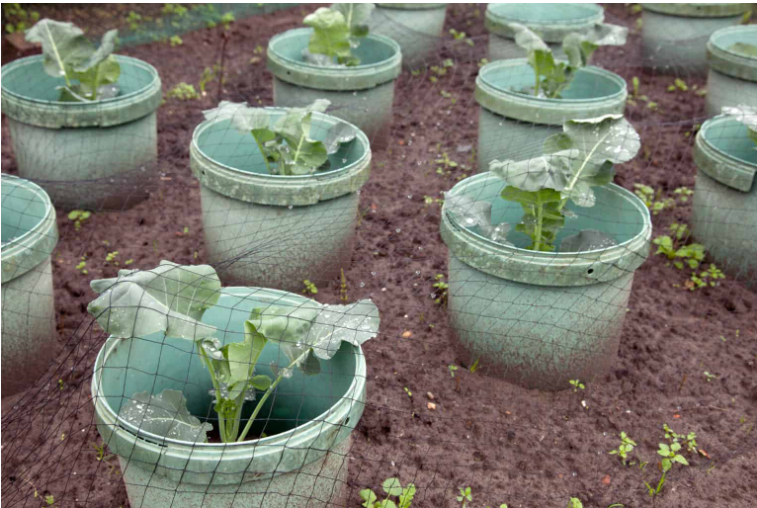 The Best Time to Plant the Cabbage