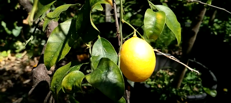 Hybrid Citrus