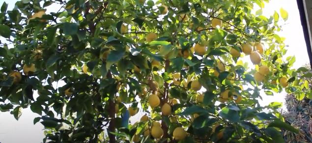 Villafranca Lemon Eureka