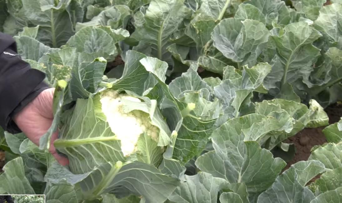 one of types of cauliflower - white cauliflower