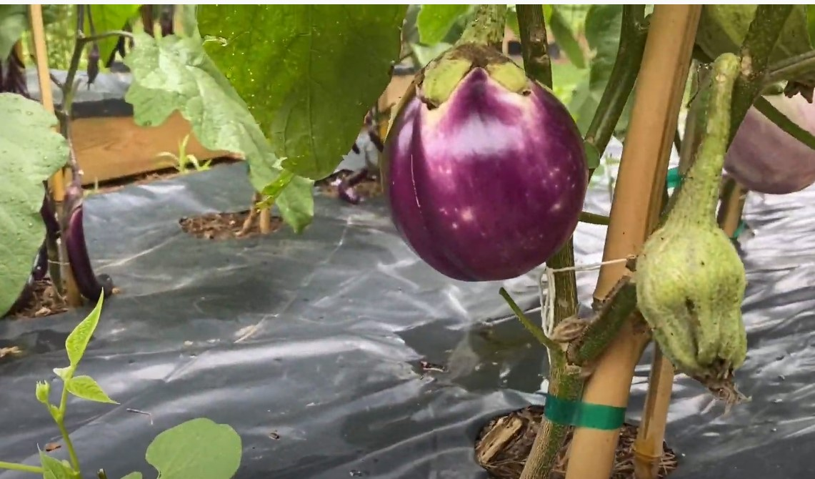 bianca eggplants
