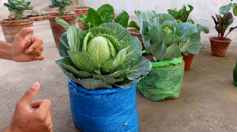 cabbage in container