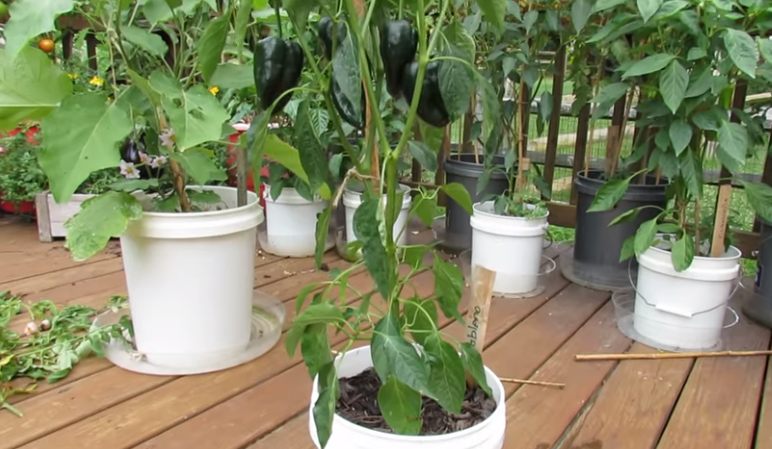 grow peppers in container