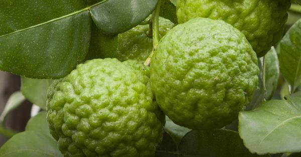 jeruk lemon Citron