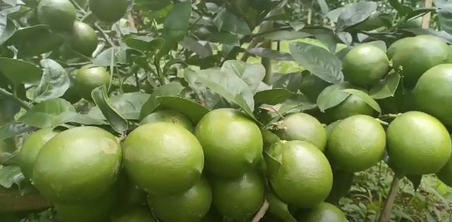 Femminello Ovale Lemon