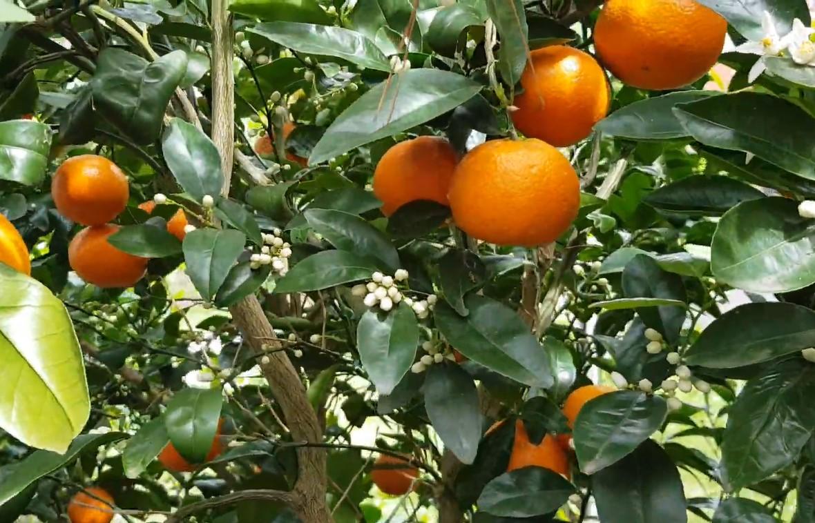types of citrus : mandarin