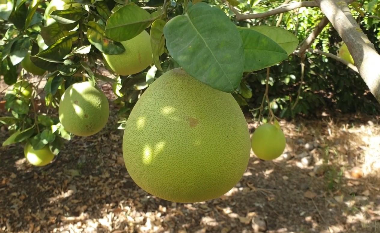 pamelo citrus