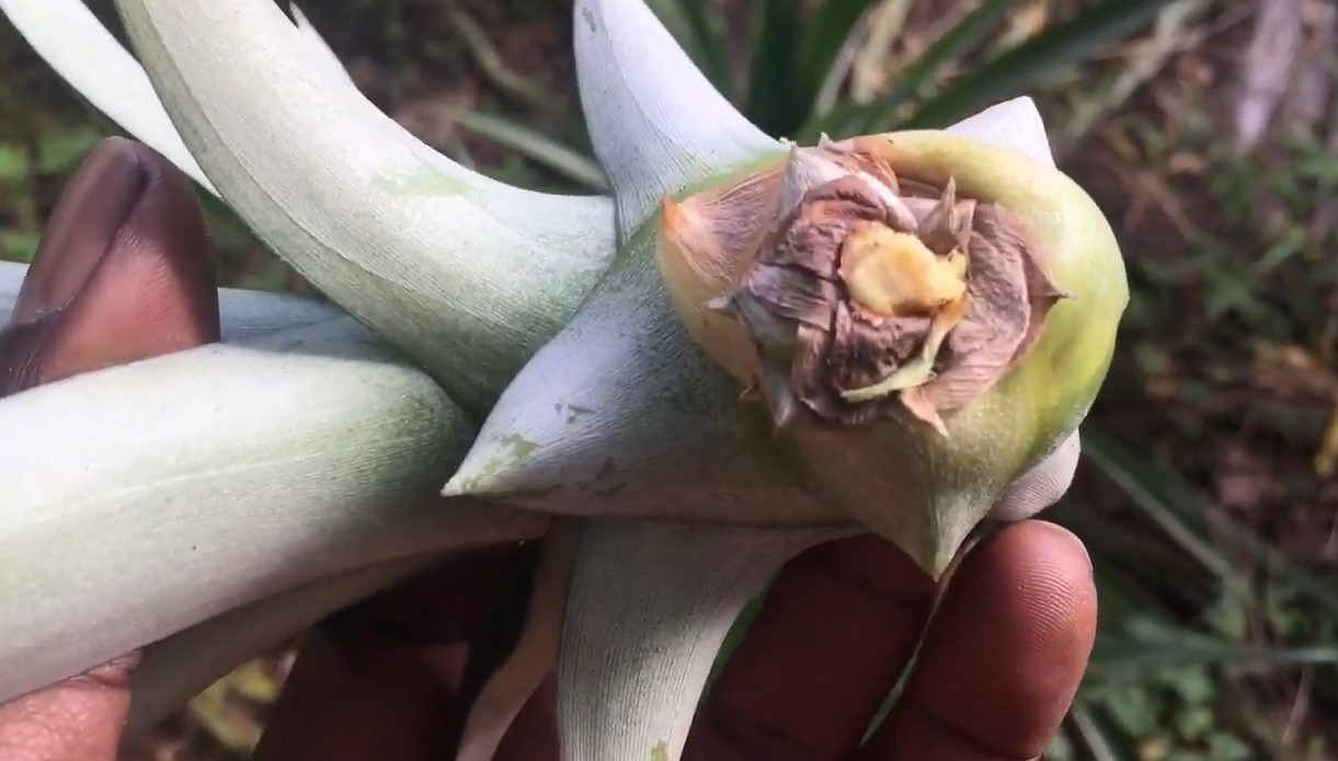 pineapple seed