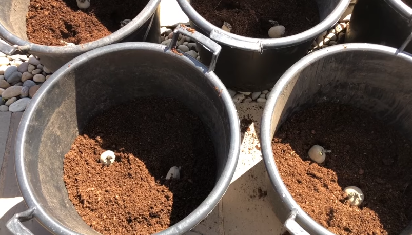 planting potatoes in the container